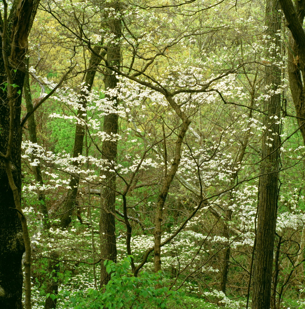 Dogwood Thicket